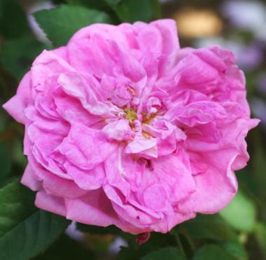 香りバラ・ピンク系バラ マリー ドゥ ブロワ