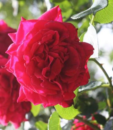 黒バラ・赤系バラ トール