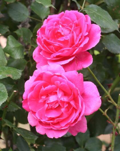 香りバラ・ピンク系バラ ピンククラウド