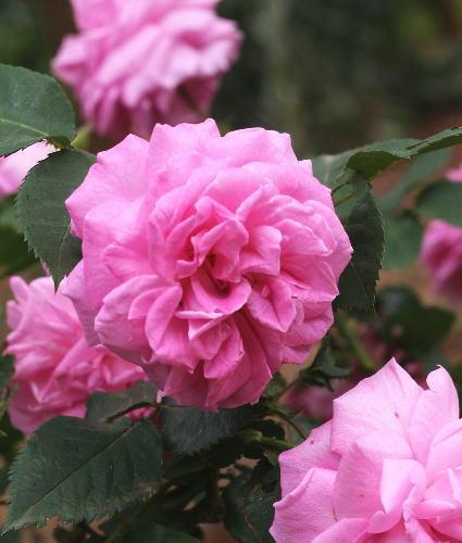 香りバラ・ピンク系バラ マダムロリオールドゥ バーニー