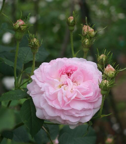 香りバラ・ピンク系バラ クロリス