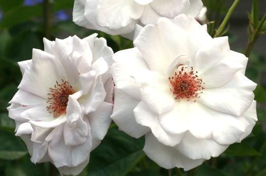 紫のバラ・香りバラ シルバーシャドウズ