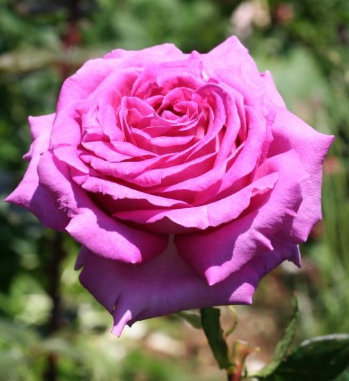 紫のバラ・香りバラ・ピンク系バラ シャルトルーズドゥパルム