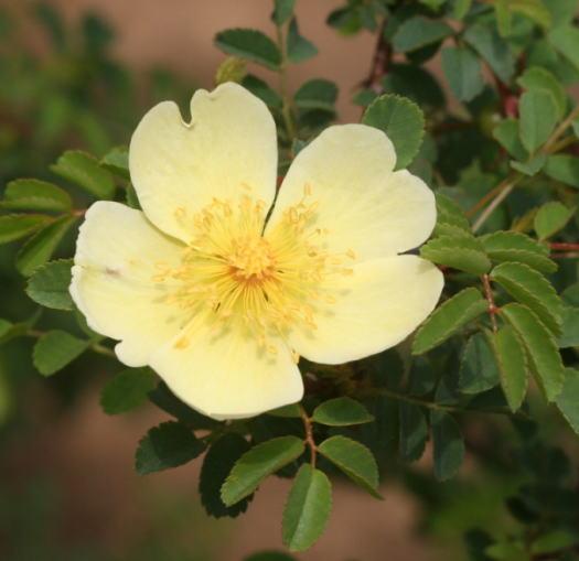 原種系バラ・黄色系バラ ロサ・ユーゴニス