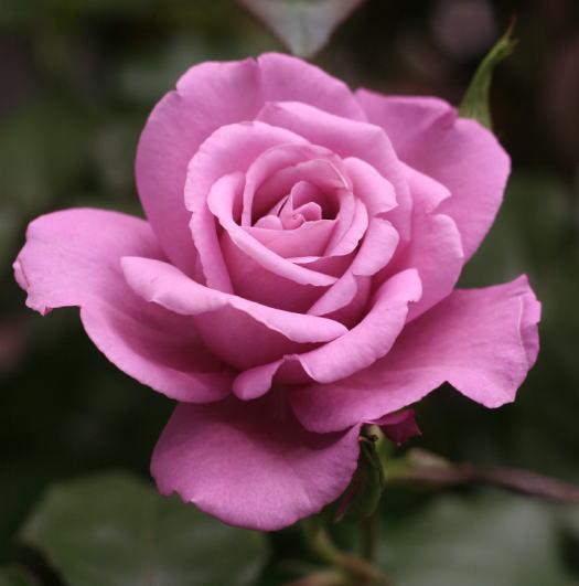 紫のバラ・香りバラ フェルゼン伯爵