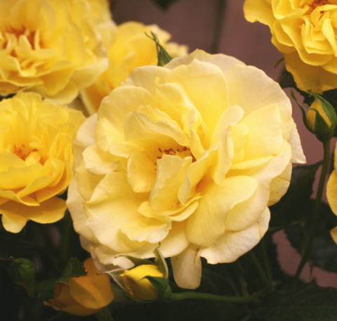 香りバラ・黄色系バラ アカデミー オルレアン