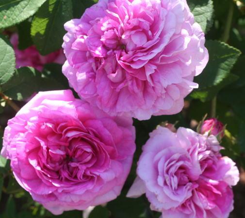 香りバラ・ピンク系バラ アンリフキエ