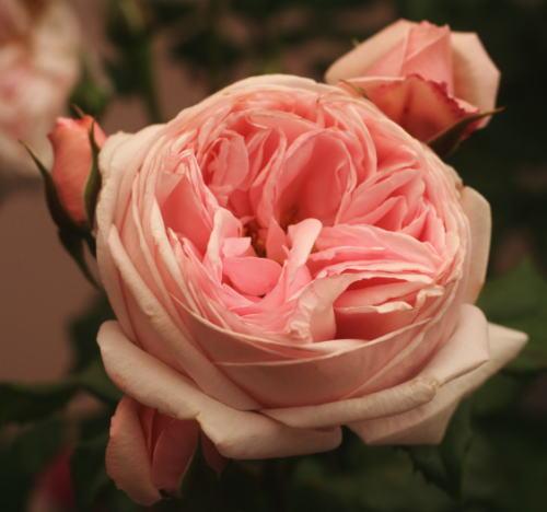 香りバラ・ピンク系バラ ナエマ