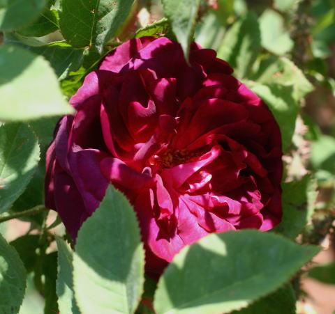 紫のバラ・黒バラ・香りバラ ブラック ボーイ