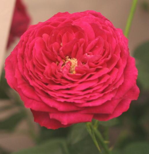 黒バラ・香りバラ・赤系バラ ゴスペル