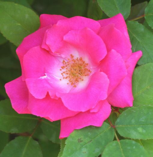 香りバラ・ピンク系バラ ゼフィリーヌ・ドルーアン