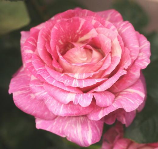 絞りバラ・ピンク系バラ 奇蹟