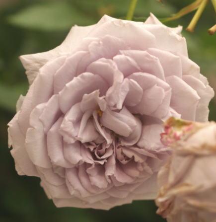 紫のバラ・香りバラ アンティークウォッチ