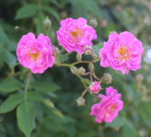 紫のバラ マニントン モーヴ ランブラー