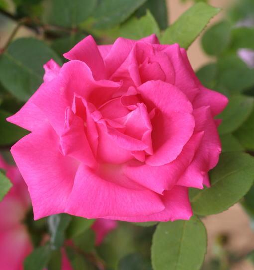 香りバラ・ピンク系バラ ゼフィリーヌドルーアン