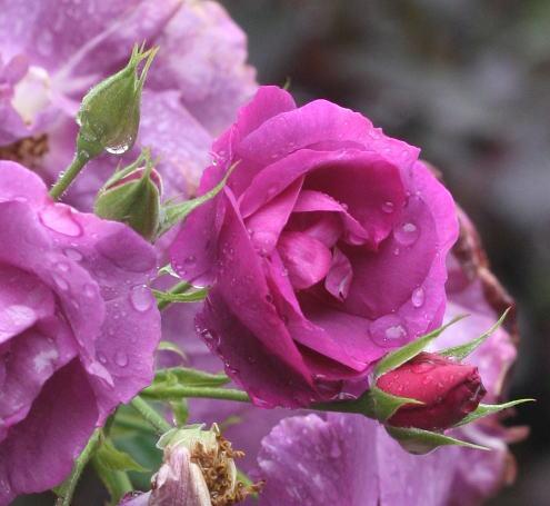 紫のバラ・黒バラ・香りバラ ライラ 花