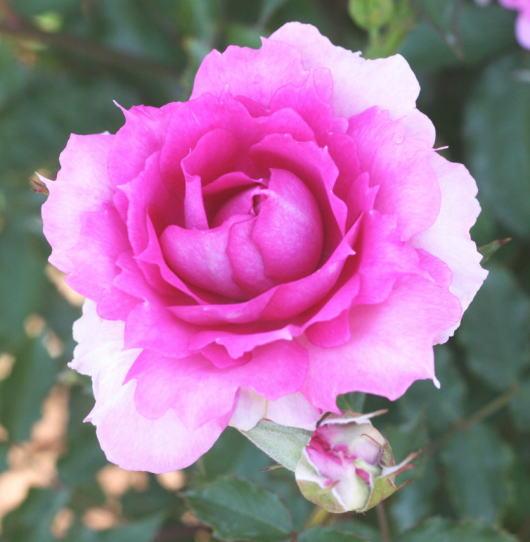 紫のバラ・香りバラ シェエラザード