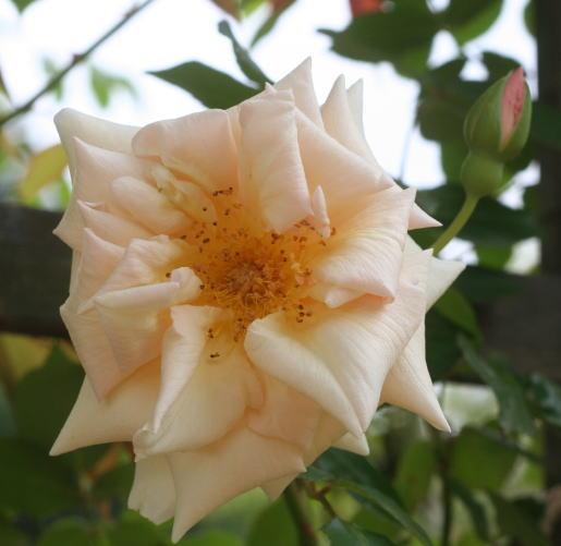 香りバラ・オレンジ系バラ サフラノ