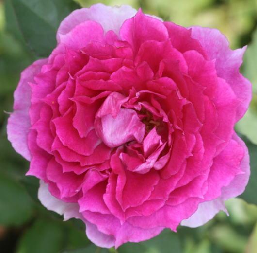紫のバラ・香り薔薇 シェエラザード