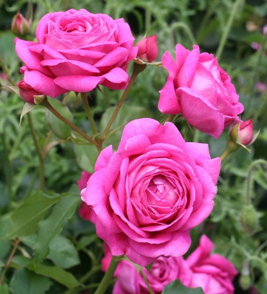 香りバラ・赤系バラ パブロック