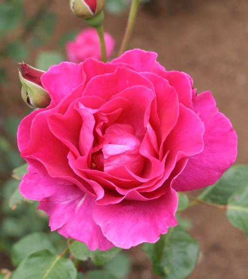 紫のバラ・香りバラ インセンス・インディゴ