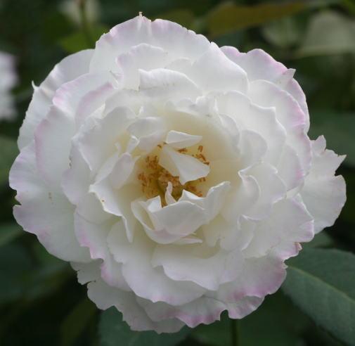 香りバラ・白系バラ ル ブラン