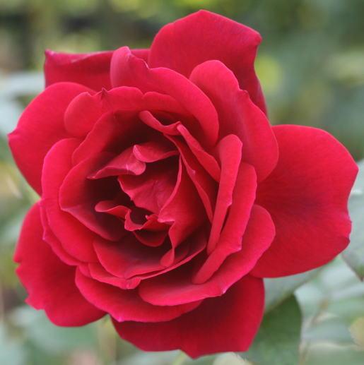 黒バラ・香りバラ・赤系バラ ノクターン