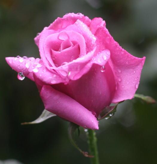 紫のバラ・香りバラ モーヴメロディー
