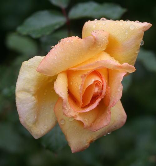 香りバラ・黄色系バラ モンテカルロ
