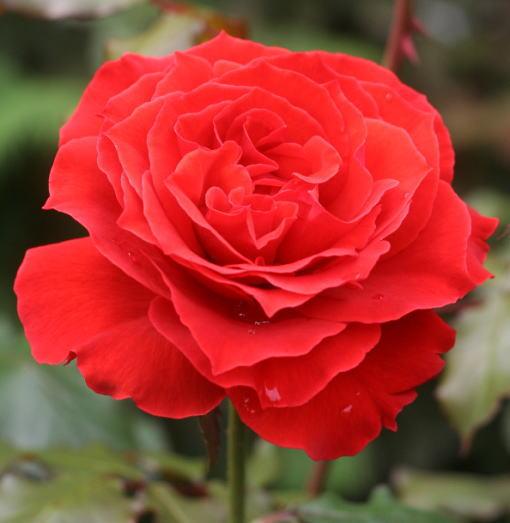 香りバラ・赤系バラ オーレ
