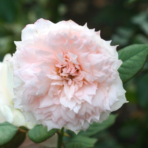 香りバラ・ピンク系バラ モニーク・ダーヴ