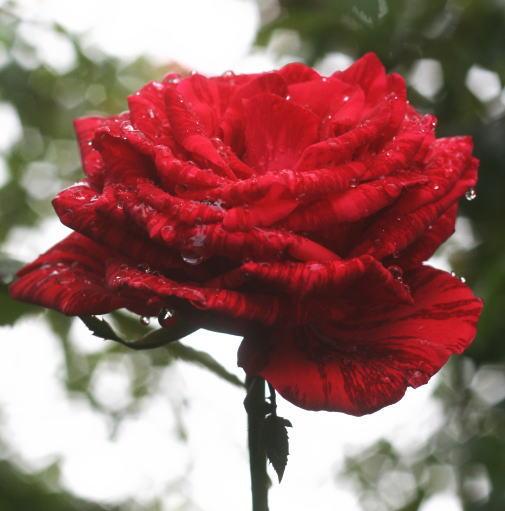 絞りバラ・赤系バラ レッドインテューション