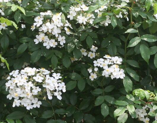 原種系バラ・白系バラ ロサ センペルウィレンス