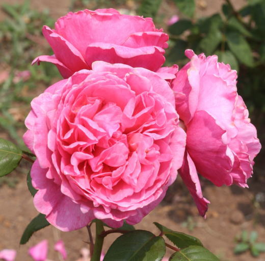 香りバラ・ピンク系バラ アライブ