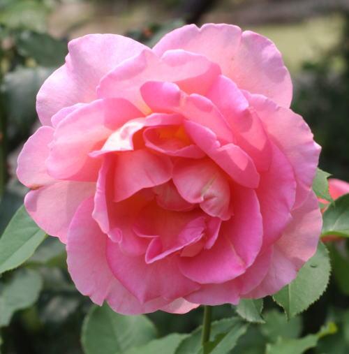 香りバラ・ピンク系バラ ティファニー