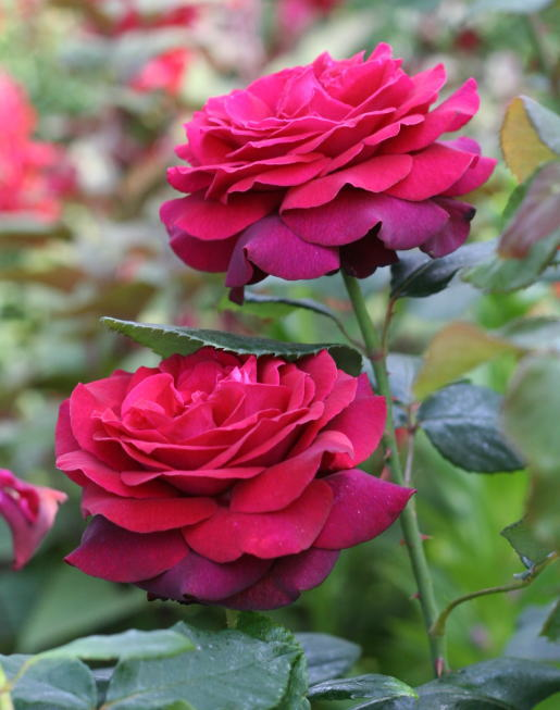 紫のバラ・黒バラ グレーフィン ディアナ