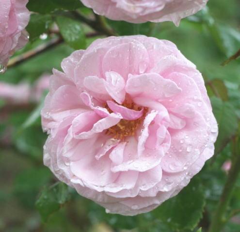 ピンク系バラ フローレンスデュシェ