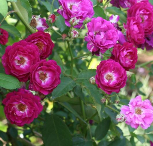紫のバラ・香りバラ アイヴァンホー