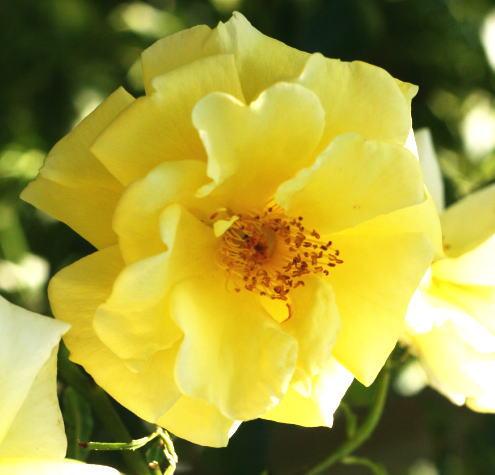 黄色系バラ ガーデナーズグローリー