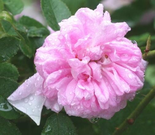 香りバラ・ピンク系バラ ジャンボダン