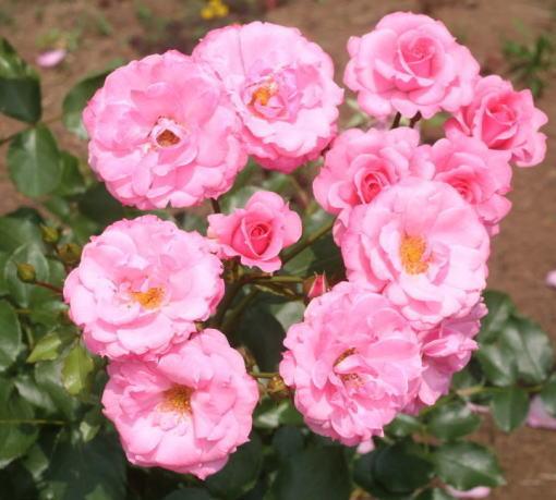 ピンク系バラ ロイヤル・ボニカ