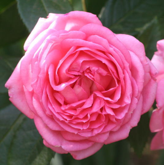 香りバラ・ピンク系バラ ラ・ローズ・ドゥ・モリナール