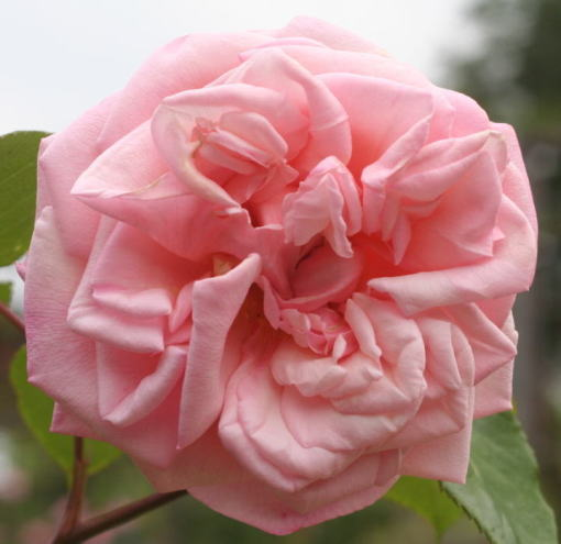 ピンク系バラ バロンヌ・アンリエット・ドゥ・スノイ