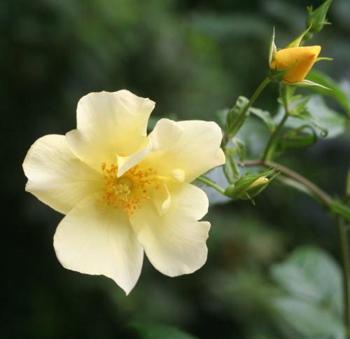 黄色系バラ リモンチェッロ