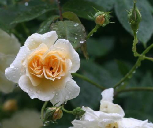 白系バラ・黄色系バラ クレールジャッキエ