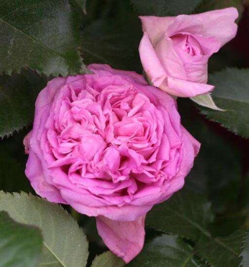 紫のバラ・香りバラ ベルナデット ラフォン