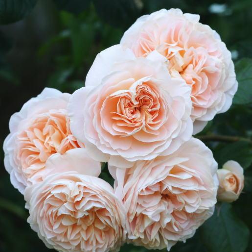 香りバラ・オレンジ系バラ ジャルダンドゥレソンヌ