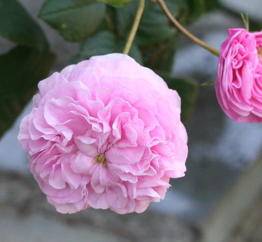 ピンク系バラ レーヌ デ サンフェイユ