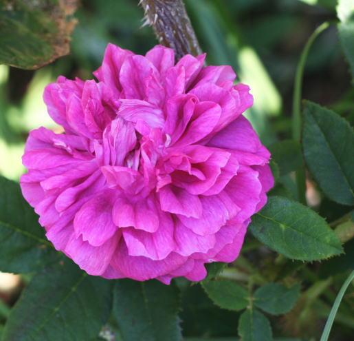 紫のバラ・香りバラ ジェームス ヴィッチ