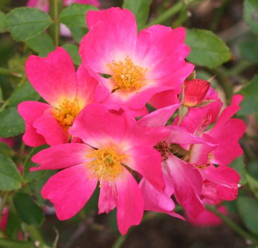 ピンク系バラ ピンクドリフト